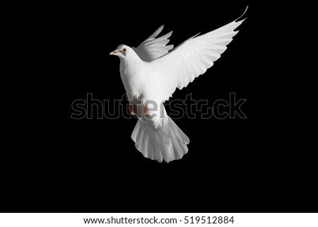 homing pigeon with spread wings isolated on black