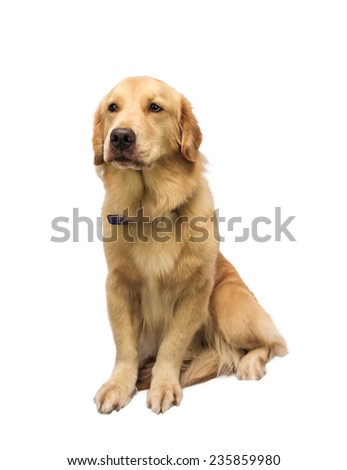 honest golden retriever isolated in white background with clipping path - stock photo