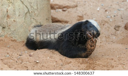 honey badger feeding