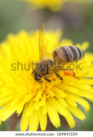 Honey bee - stock photo
