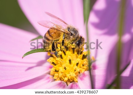Honey bee and pink cosmos flower.