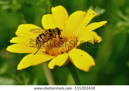 Honey bee and tiny red bugs on yellow flower. Spring season. - stock photo