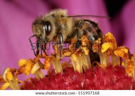 Honey Bee (Apis mellifera) - stock photo