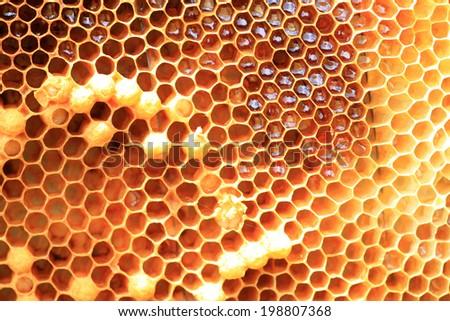 Honey Bee (Apis mellifera) nest in Japan  - stock photo