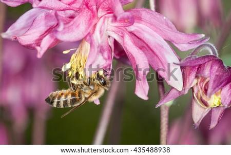 Honey bee( Apis mellifera) on columbine flower - stock photo