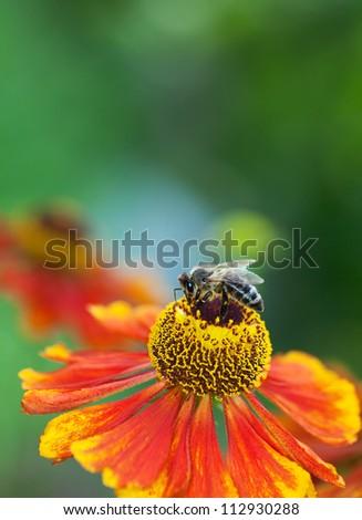 Honey bee (Apis mellifera) sitting on a red helerium flower, macro, shallow dof, copy space - stock photo