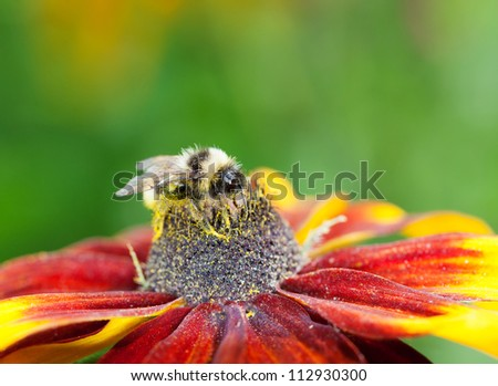 Honey bee (Apis mellifera) with pollen in its pile sitting on a red cone flower, macro, shallow dof, copy space - stock photo