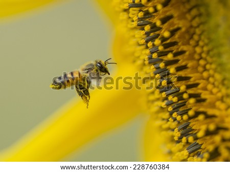 Honey Bee at a Sunflower ~ South Africa - stock photo