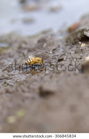 Honey bee at water collecting - stock photo