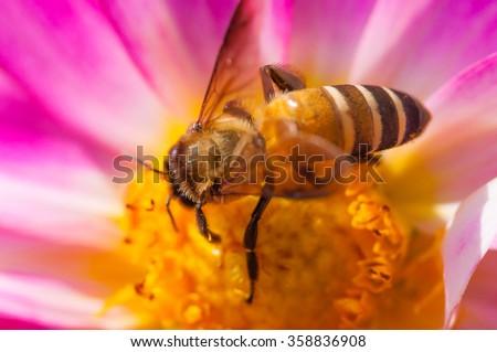 Honey Bee at work on Light Pink Flower, Close Up Macro - stock photo
