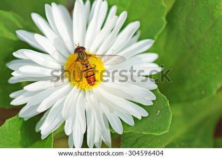 honey bee collecting nectar from a flower - stock photo