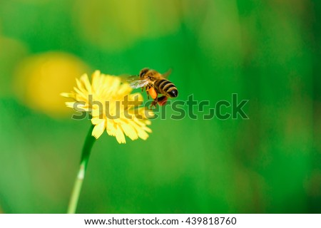 Honey bee collecting nectar from dandelion flower - stock photo