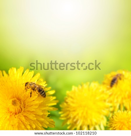Honey bee collecting nectar from dandelion flower in the summer time. Useful photo for design or web banner.