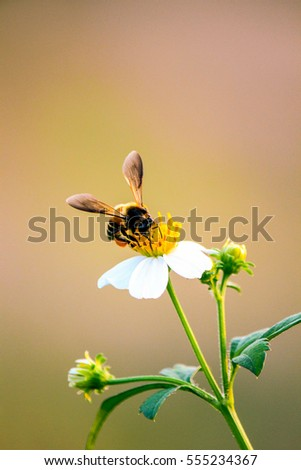 Honey bee collecting pollen and drink nectar on small white flowers, natural blurred background, selective focus.