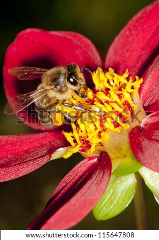 Honey bee collecting pollen and nectar from a deep red dahlia flower in late summer.  Prominent pollen sacs visible.