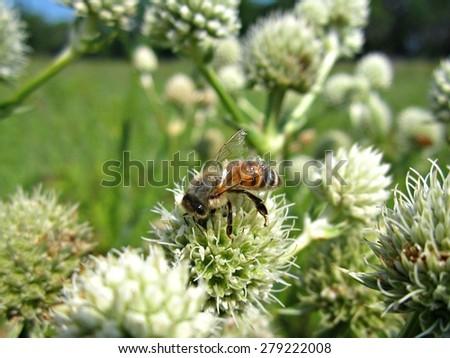 Honey bee collecting pollen and nectar from Rattlesnake Master (Eryngium yuccifolium) - stock photo