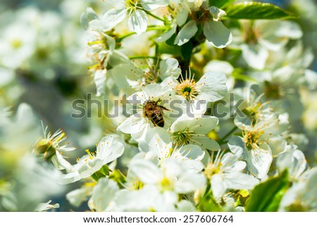 Honey bee collecting pollen from flowers - stock photo