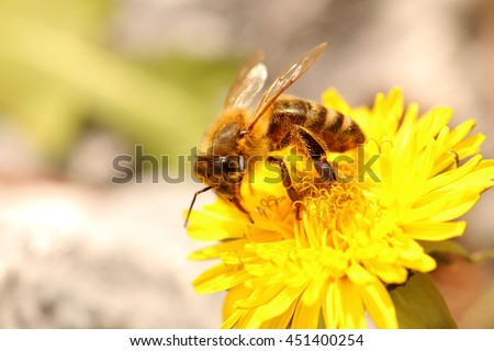Honey Bee collecting pollen on a Dandelion - stock photo