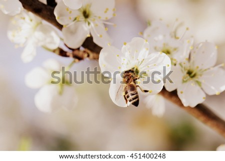 Honey Bee collecting pollen on a pear blossom - stock photo