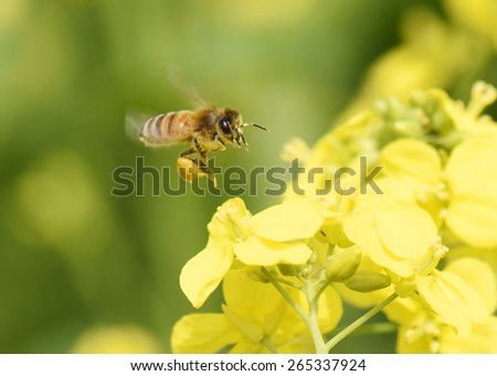 Honey Bee collecting pollen on yellow rape flower. - stock photo
