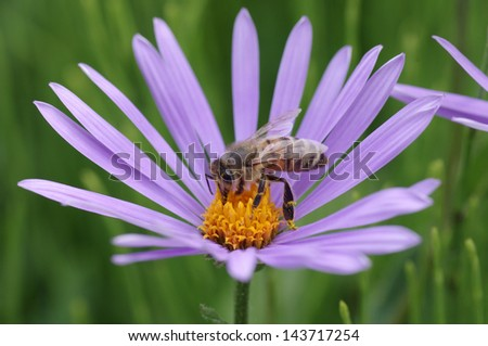 honey bee collects flower nectar - stock photo