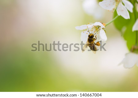 Honey bee enjoying blossoming cherry tree on a lovely spring day - stock photo