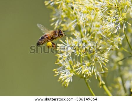 Honey Bee feeding from wildflowers. - stock photo