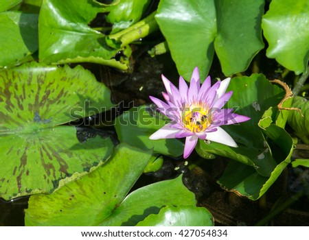 honey bee flying and bees collecting nectar in deep of purple lotus blossom