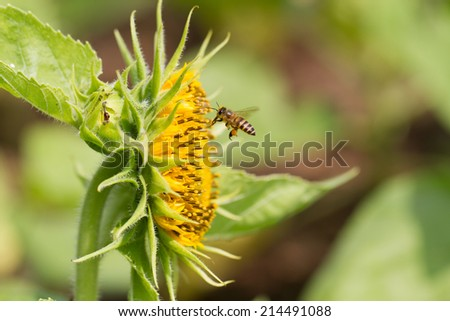 Honey Bee flying to the flower - stock photo