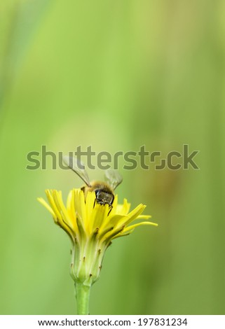 Honey Bee gathering pollen from a yellow flower. - stock photo