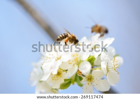 Honey bee in flight approaching blossoming wax cherry  flowers - stock photo