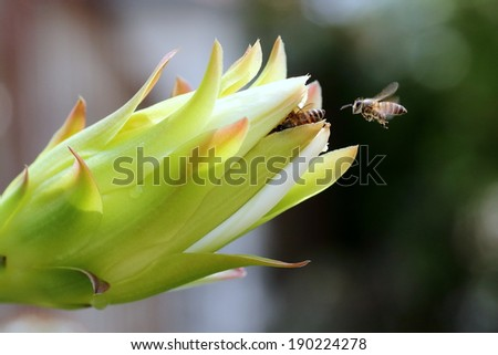 Honey Bee in Flight Waiting in Queue to Pollinate at Cactus Flower Bud - stock photo