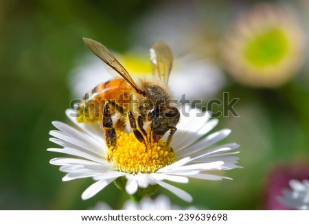 Honey Bee Looking For Nectar and Collecting Pollen, Melbourne, Victoria, Australia - stock photo