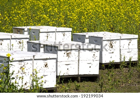 Honey bee nest boxes at a field of Sinapis Alba, Yellow mustard being grown for seed in the Willamette Valley in Oregon - stock photo