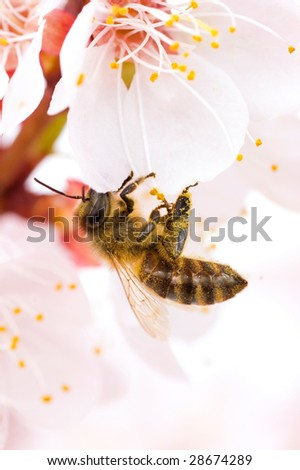 Honey Bee on a spring flower