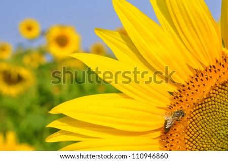 honey bee on a sunflower - stock photo