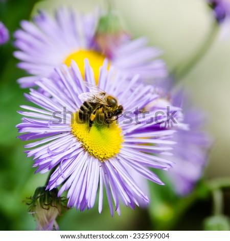 honey bee on blue flower - stock photo
