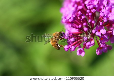 Honey Bee on butterflybush flower - stock photo
