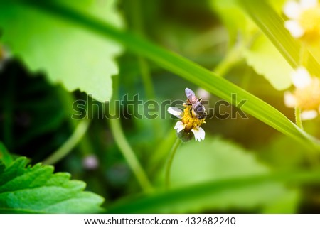 Honey Bee on Coat buttons flower or Mexican daisy under morning sunlight , Close Up Macro - stock photo