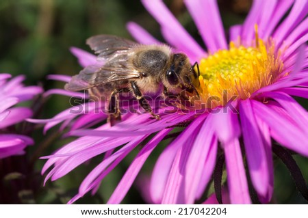 Honey bee on flower - stock photo