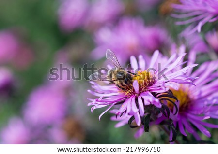 Honey bee on flower; Shallow depth of field - stock photo