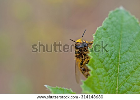 honey bee on green leaf - stock photo