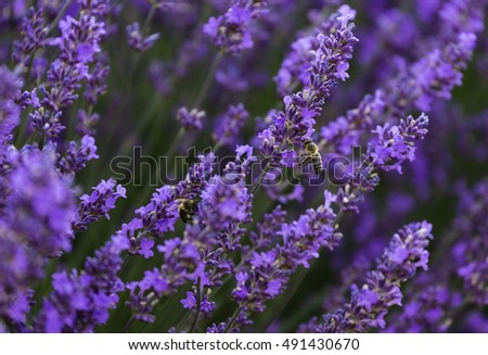 Honey bee on lavender flower. Honey bee is collecting pollen in Valensole Provence, France