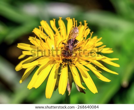 Honey bee on spring dandelion. Shallow depth of field. - stock photo