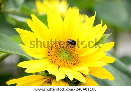 Honey Bee On Sunflower - stock photo