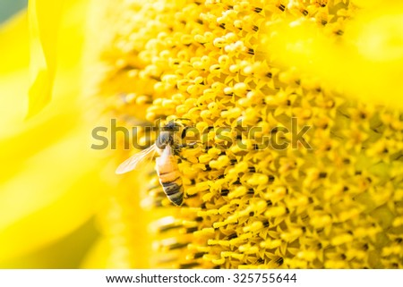 Honey bee on the center of Titan sunflower