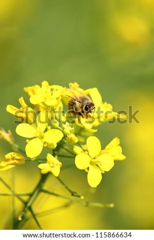honey bee on the flower - stock photo