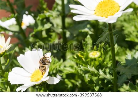 Honey Bee on the Flower, Close Up Macro - stock photo