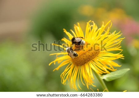 Honey Bee on the Rudbeckia flower against blurred background.