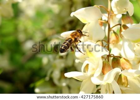 honey bee on the white flower of acacia - Robinia pseudoacacia - stock photo
